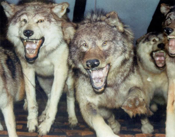 [Image: vicious-wolf-pack.jpg]
